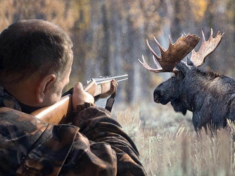 Если у этого охотника нет лицензии, то ему грозит штраф за убитого лося